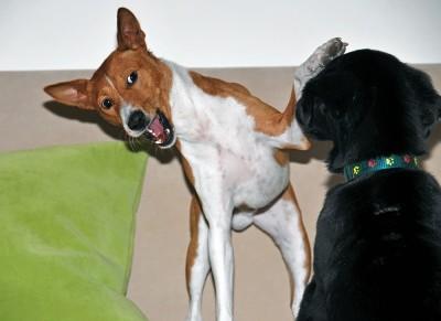 Gambo a Artík zápasí